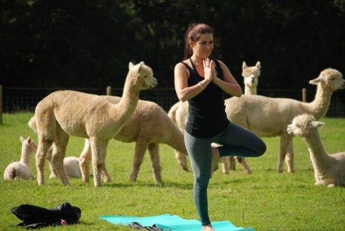 Rosebud Alpacas — британская ферма, предлагающая занятия йогой в компании лохматых альпака (7 фото)