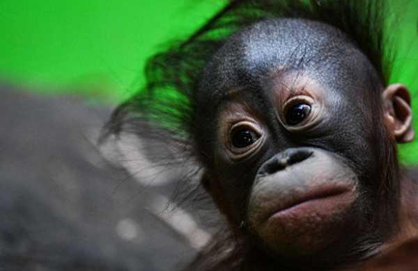 Россиянина задержали законтрабанду орангутана сБали