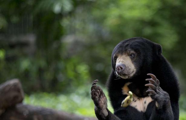 Биологи узнали, чтомалайские медведи копируют мимику друг дружку