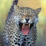 Подросток спас семилетнего мальчика изпасти леопарда
