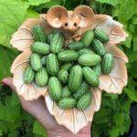 Огурбуз или арбурец? Необычное растение, плоды которого представляют собой смесь арбуза и огурца (5 фото)