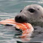 Серых тюленей научили имитировать речь и петь саундтрек «Звездных войн»